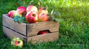 Apfelernte in der Holzkiste