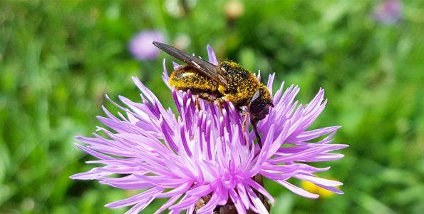 Biene mit Pollen auf einer Kornblume