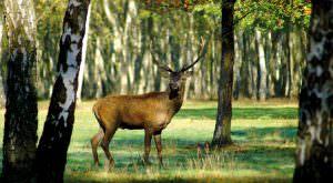 Kapitaler Hirsch in einem Waldstück
