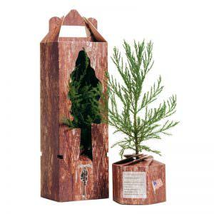 Mammutbaum in Geschenkverpackung