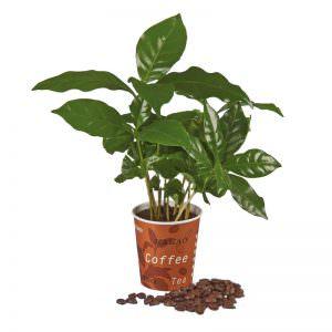 Mini-Kaffeepflanze im Expresso Becher