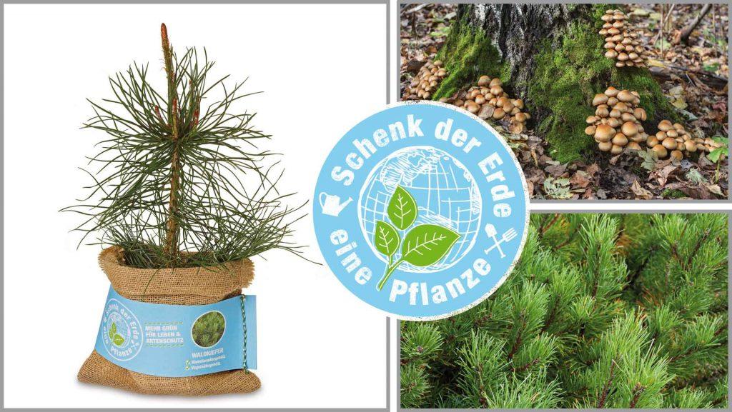 Florapresenta Schenk der Erde ein Pflanze Waldkiefer im Jutesack mit Banderole