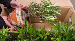 Olive im Pflanzenversandkarton von Florapresenta