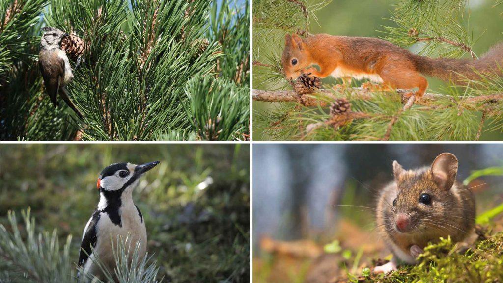 Vögel, Eichhörnchen und Mäuse lieben die Samen der Waldkiefer