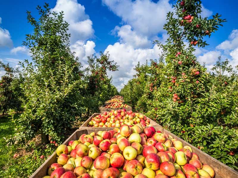 Apfelernte in Monokulturen