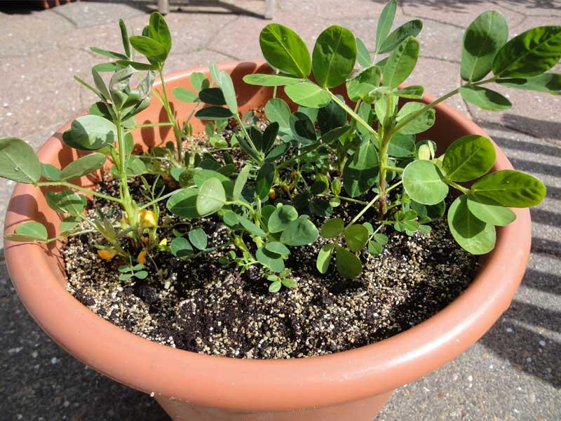 Erdnusspflanzen mit Blüte
