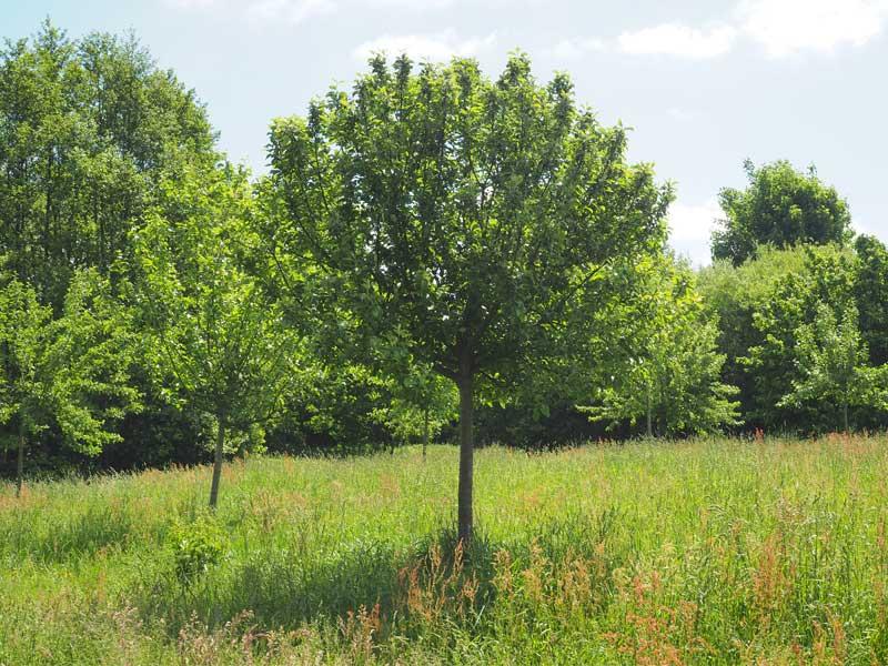 Apfelbaum auf der Streuobstwiese in Henstedt-Ulzburg