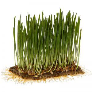 Superfood Weizengras mit Greenpad