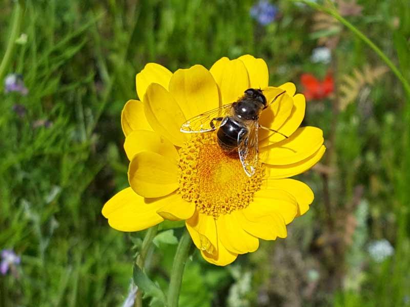 Insektenvielfalt durch Wildblumenwiese am Achensee