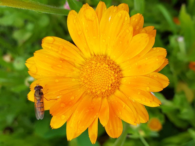 Ringelblume im Kräutergarten Wildschönau