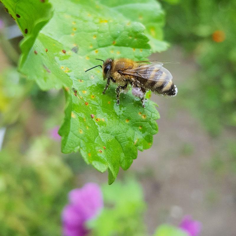 Biene im Anflug auf eine Malve
